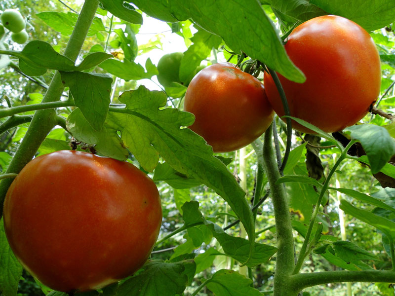 Add garlic to your garden to improve your tomatoes taste
