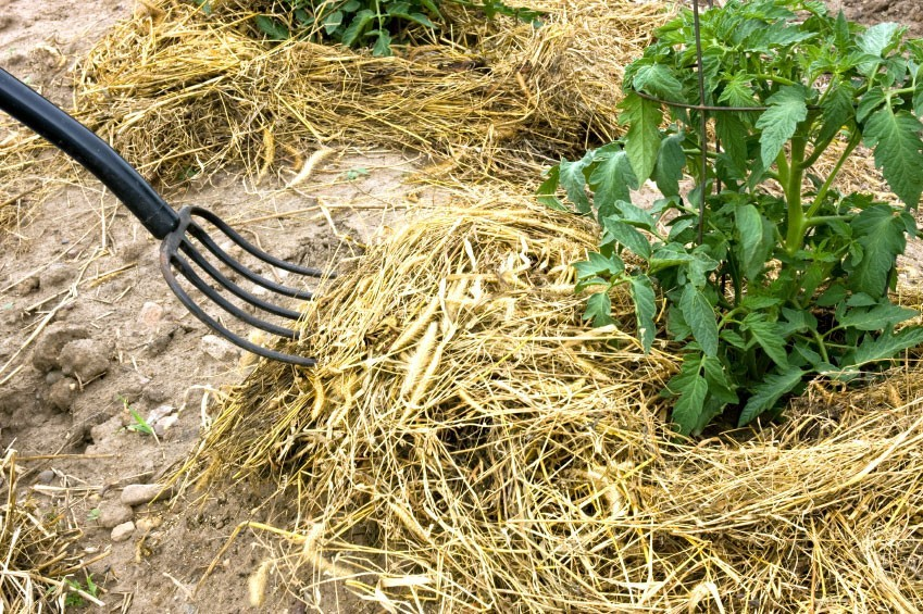 Use mulch to feed your tomato plants